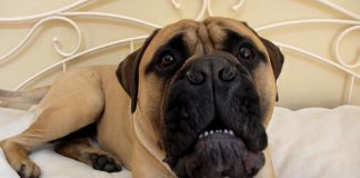 World witnesses 11 stone Bullmastiff